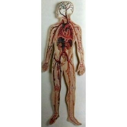 Sistema Circulatorio...