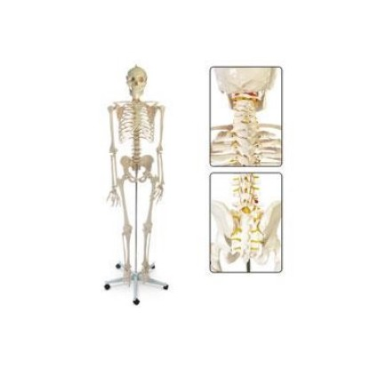 Esqueleto Humano Ref. Sb02011